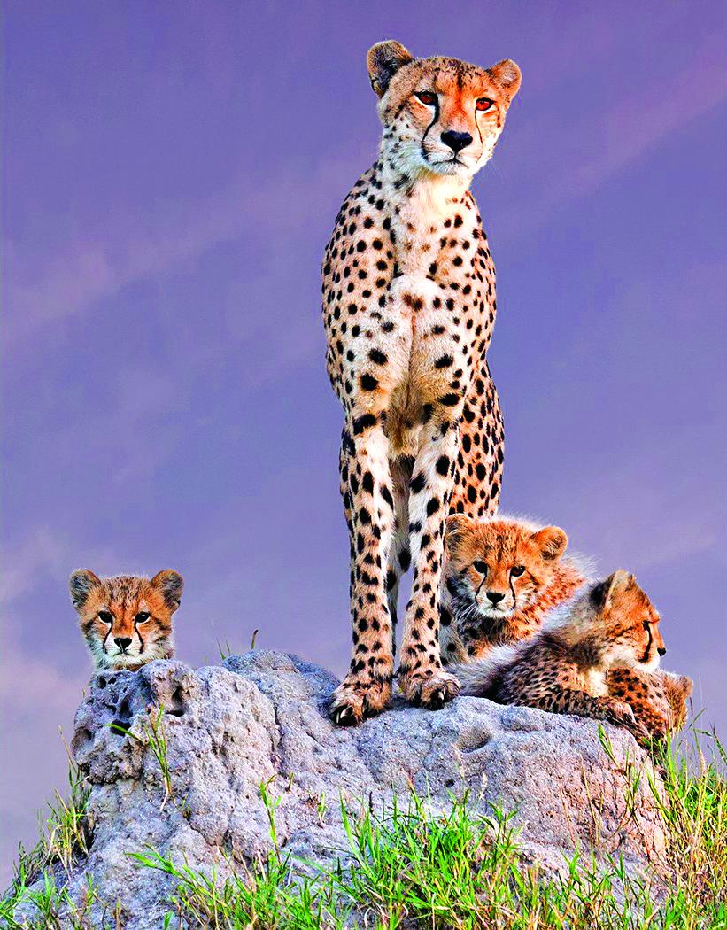 Cheetah with Cubs by Arun Mohanraj