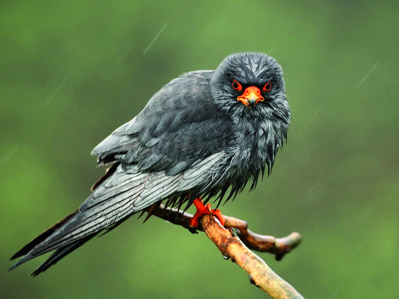 Red Footed Falcon in Rain by Mick Books