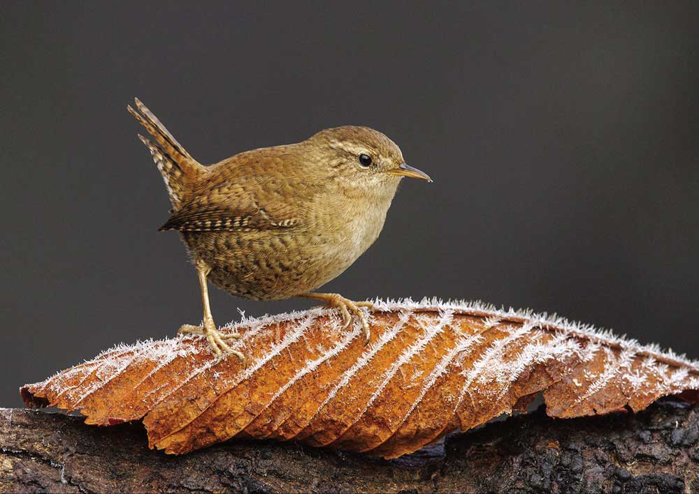 Wren with a Touch of Frost by John Barlow