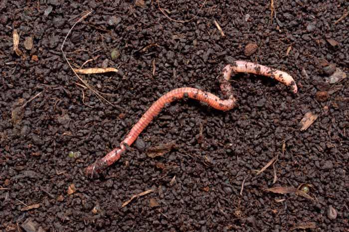 worm charming