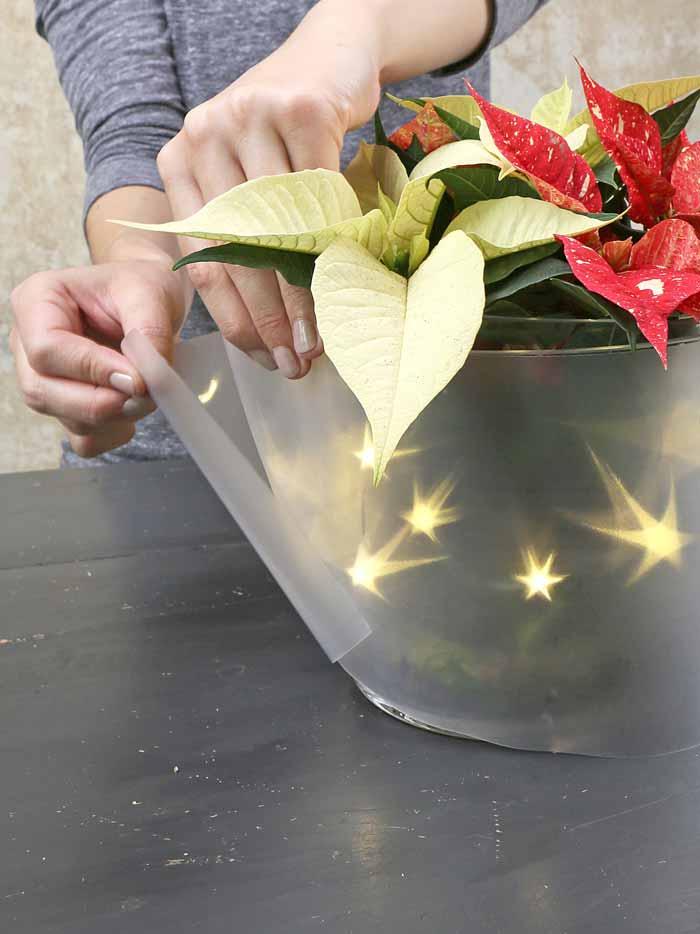 Poinsettia Shooting Star