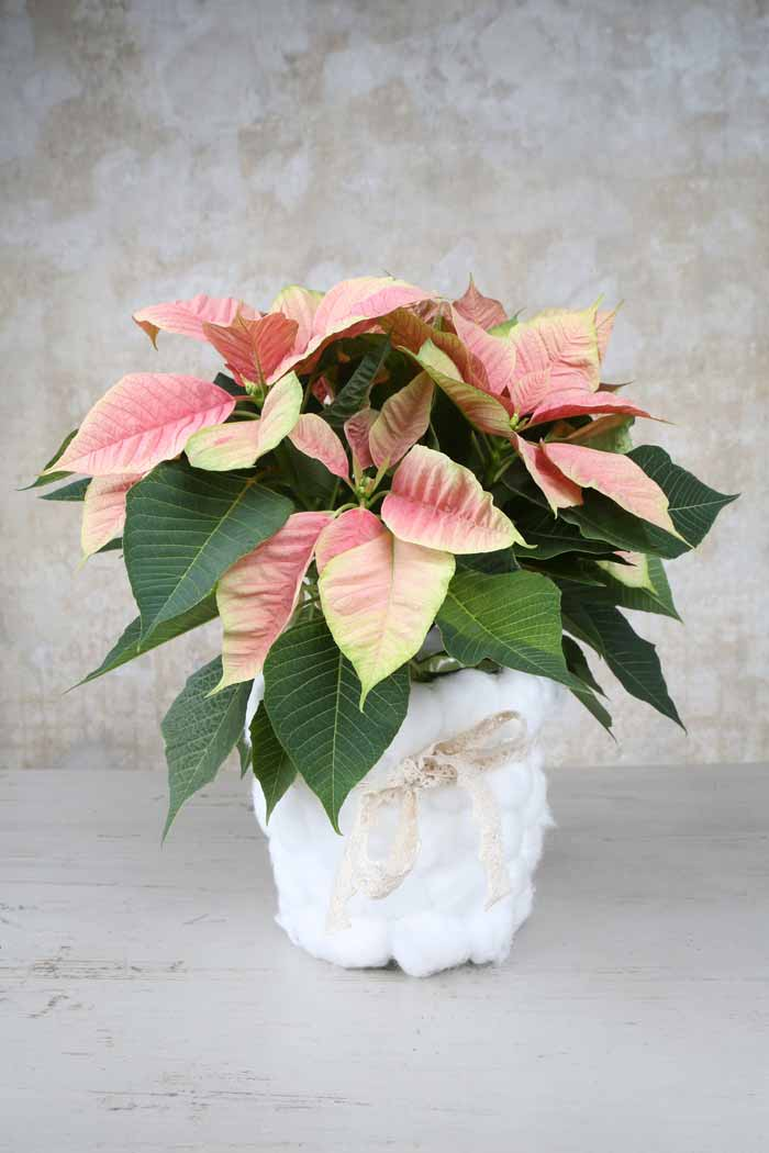 Poinsettia Christmas Cloud