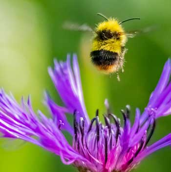 Honeys bees
