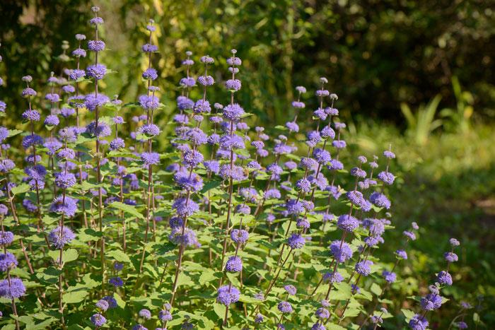 Caryopteris scented garden