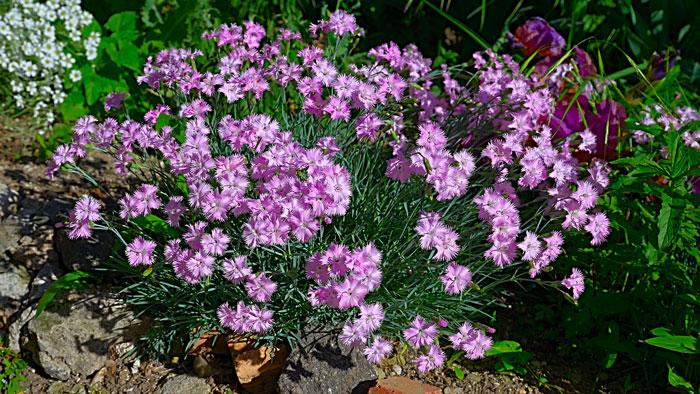 Dianthus scented garden