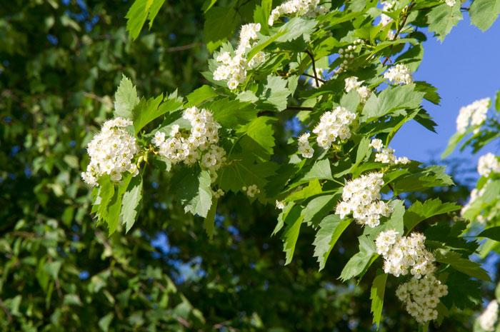 Hawthorn scented garden