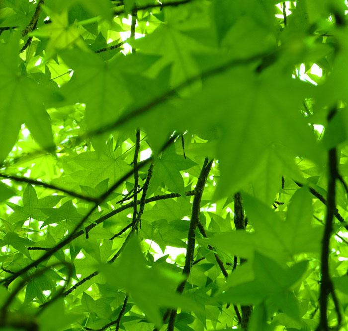 Liquidambar scented garden