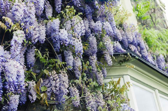 Wisteria scented garden
